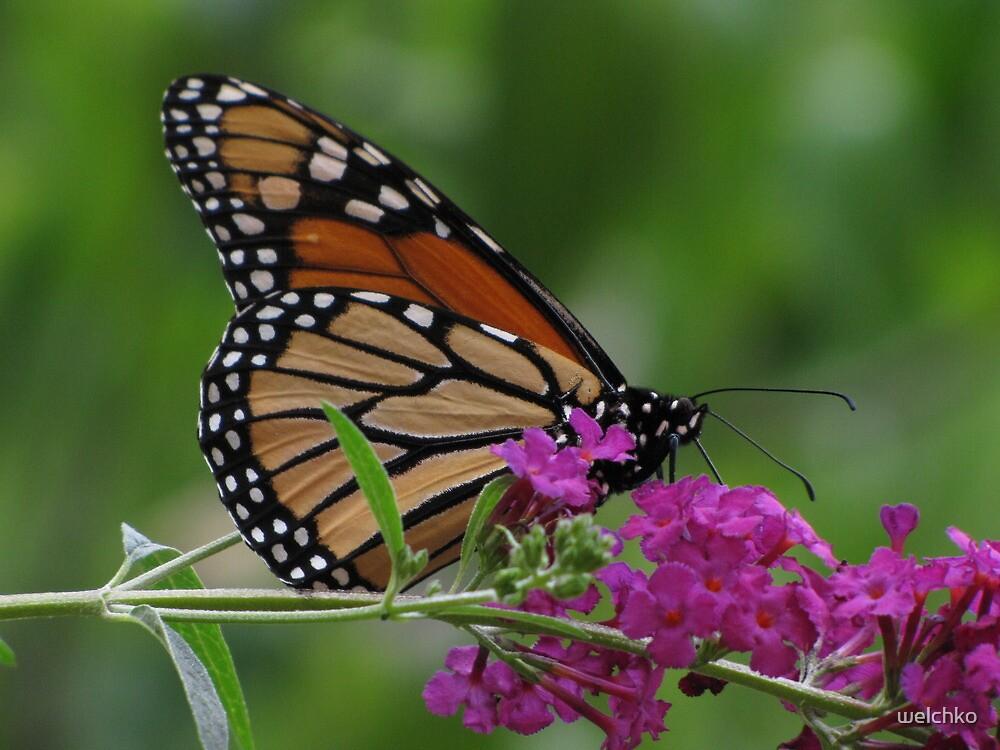 Monarch by welchko