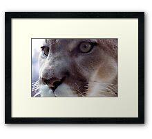 Cougar Framed Print