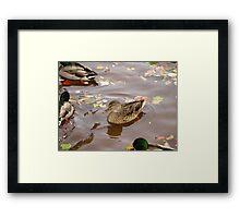 Duck11 Framed Print