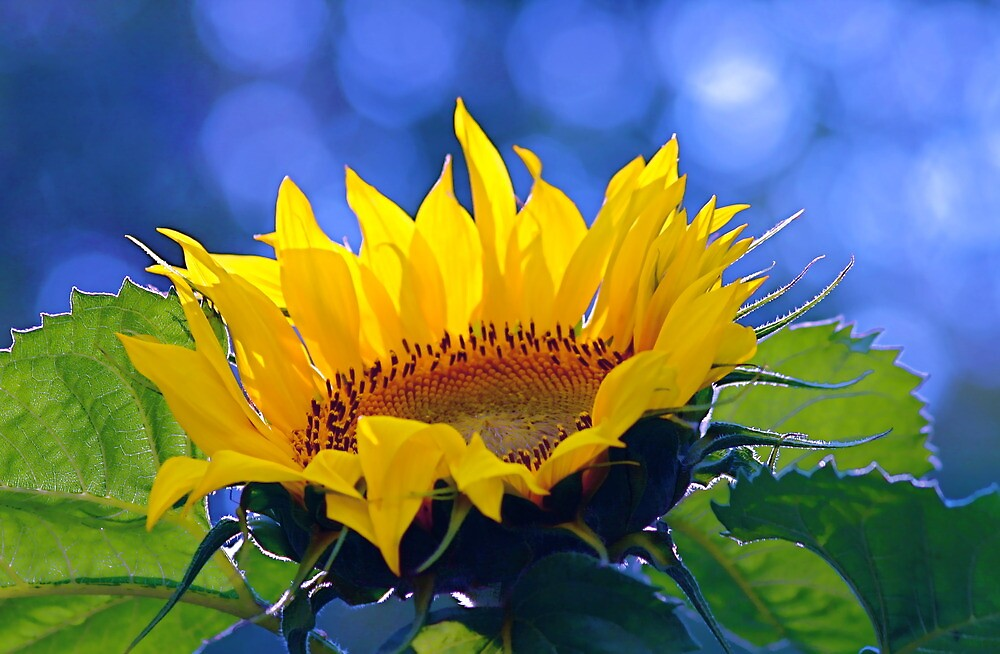 Summer Sunflower - Park City, Utah by FoxSpirit