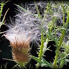 Thistle Explosion by Dennis Cheeseman