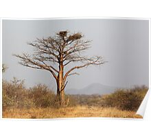 Bushveld Baobab, Alldays, Limpopo, South Africa  Poster