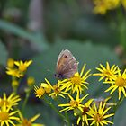 Gatekeeper on Ragwort by Chris Monks