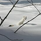 Ermine - Park City, Utah by FoxSpirit