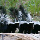 Yes, Baby Skunks Do Spray - Park City,Utah by FoxSpirit