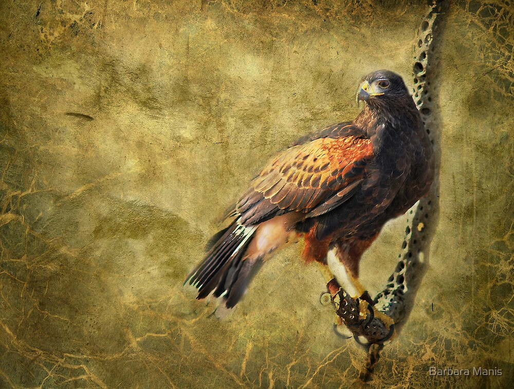 Harris Hawk by Barbara Manis