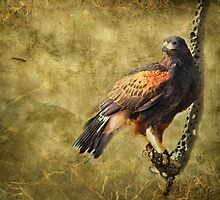 Harris Hawk by Barbara Manis