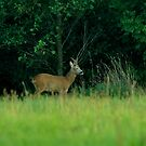 Roe buck by Russell Couch