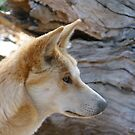 Dingo Portrait by Trish Meyer