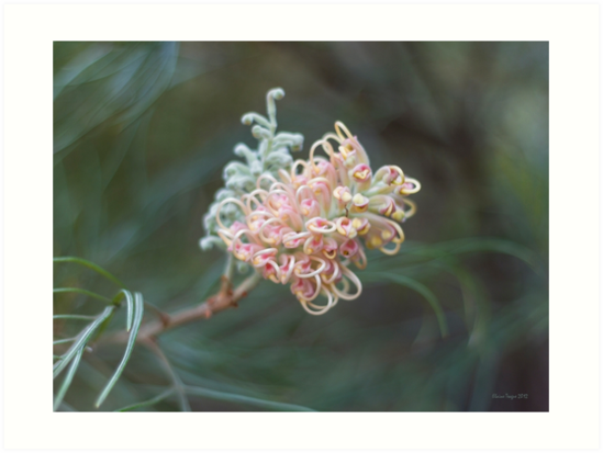 Grevillea 'Pink Surprise' (whiteana x banksii) #4 by Elaine Teague