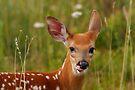Whitetail Deer Fawn by Joe Elliott