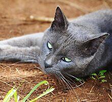 Portrait of a gray cat  by VikaL