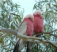 Galahs at rest by apotek