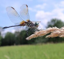 Blue Dasher on Seed Head by Sonnet Schulz