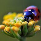 Ladybug by Dennis Stewart