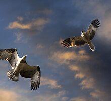 Osprey Attack by byronbackyard