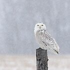 In Her Element / Snowy Owl In A Snow Storm by Gary Fairhead