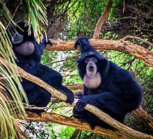Siamang Gibbons by Bette Devine
