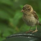Wet Sparrow by RockyWalley