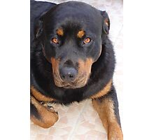 18 Months of Rottweiler Photographic Print