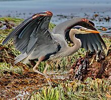 Great Blue Heron by AnnDixon