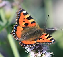 Small Tortoiseshell by DutchLumix