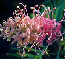 'Peaches and Cream' Grevillia by Aeve Pomeroy