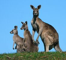 Kangaroos By Three by stevealder