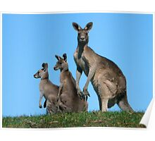 Kangaroos By Three Poster