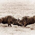 Wildebeest at War by Scott Carr