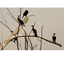 Double-crested Cormorant Photographic Print