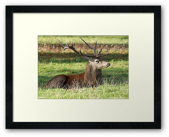 Resting - Red Stag by Trevor Kersley
