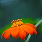 Delicate Orange by William Martin