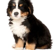 BERNESE MOUNTAIN DOG PUPPY CALENDAR by AndyPulford