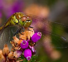 Female Common Darter by Neil Bygrave (NATURELENS)