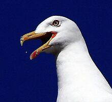 The Great Black Backed Gull by snapdecisions
