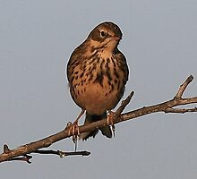 The Meadow Pipit  by snapdecisions