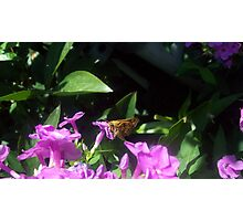 Moth landing on a flower Photographic Print