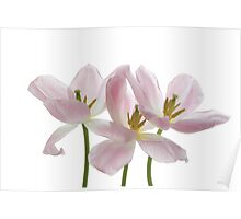 Three Pink Tulips Poster