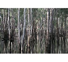 Eucalypts reflected  Photographic Print