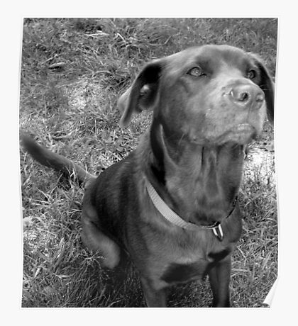 The Chocolate Lab Puppy Poster