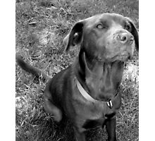 The Chocolate Lab Puppy Photographic Print