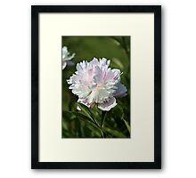 Light pink Peony lactiflora Framed Print