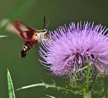 Snowberry Clearwing Hummingbird Moth on Thistle by mltrue