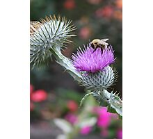 Bee on a Thistle Photographic Print