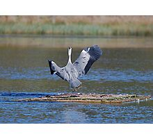 Another Heron Photographic Print