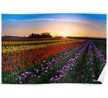 Tulips at Dawn Poster