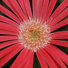 Spider gerbera by kirribas30