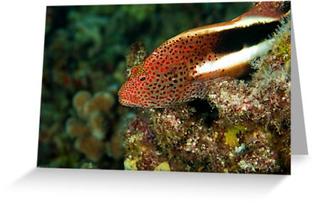 Stocky Hawk Fish by Greg Amptman