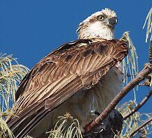 Osprey by kirribas30